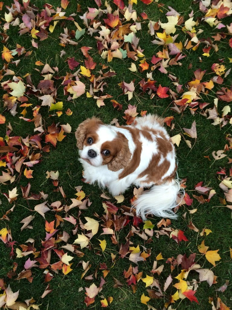 Gorgeous colorful leaves and Cavalier King Charles spaniel