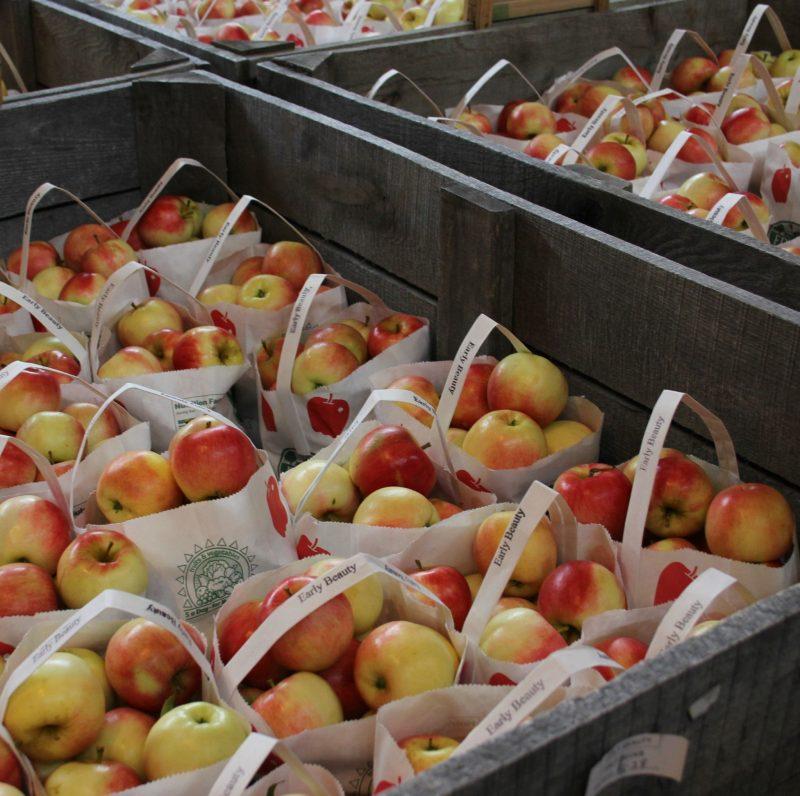 Bins of beautiful Early Beauty fall apples by Hello Lovely Studio