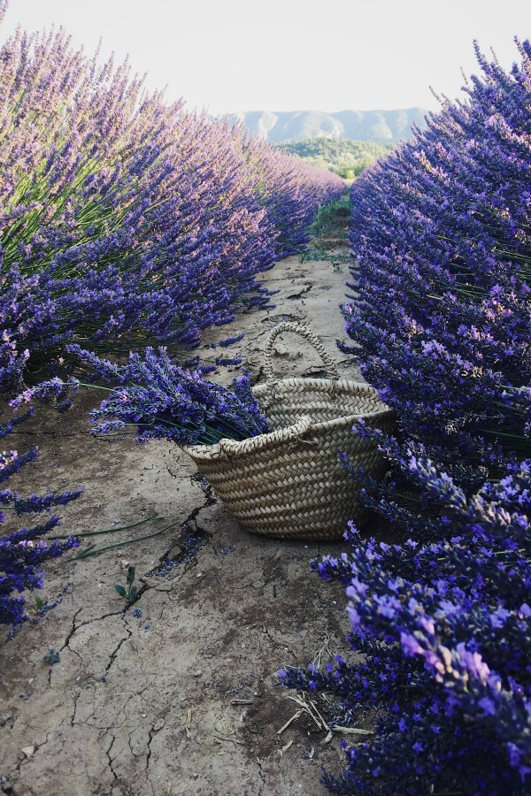 Breathtaking lavender and a French market basket from Vivi et Margot. Beautiful French Farmhouse Design Inspiration awaits! #vivietmargot #lavender #frenchlavender #french #marketbasket #provence