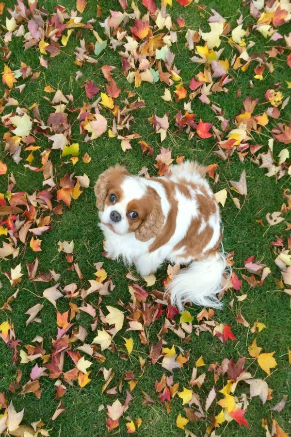 King Charles Cavalier in colorful fallen leaves. Elizabeth of Pretty Pink Tulips. #kingcharlescavalier #fallenleaves #fallinspiration