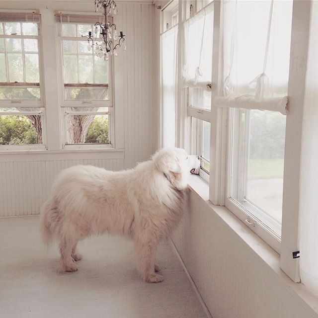 Great Pyrenees gazing out window of Nordic French white serene porch - My Petite Maison.