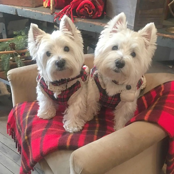 Adorable Westies in plaid jackets at Trove in Rockford, Illinois at Christmas time. Hello Lovely Studio.