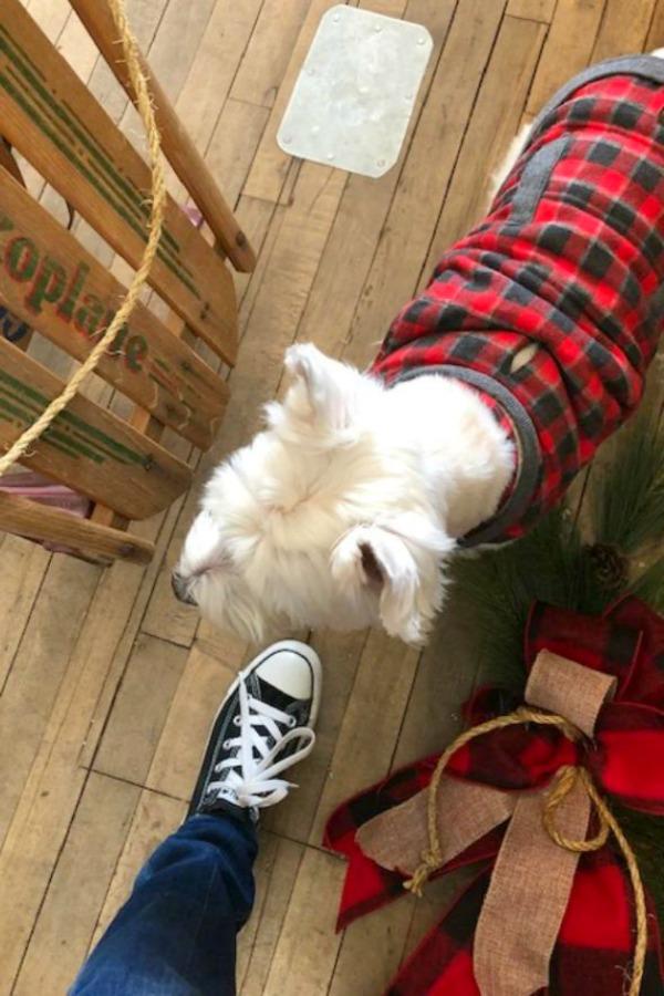 Westie in tartan, vintage aled, and my Converse sneaker. Hello Lovely Studio.
