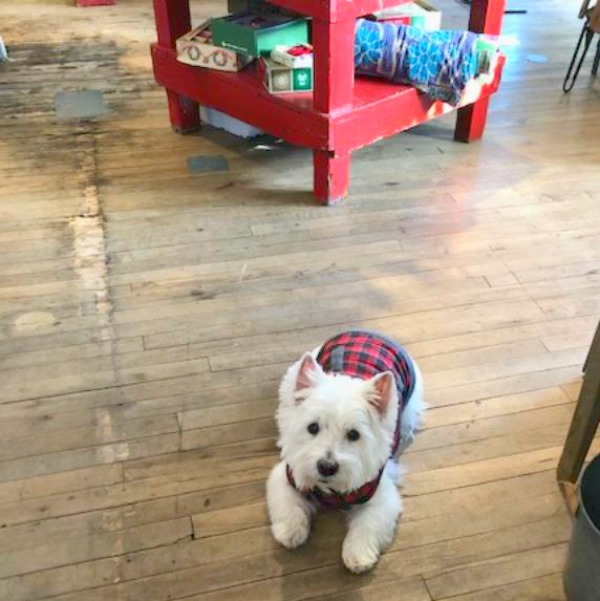 Westie in tartan. Hello Lovely Studio.