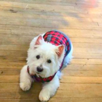 Westie in tartan! Hello Lovely Studio.