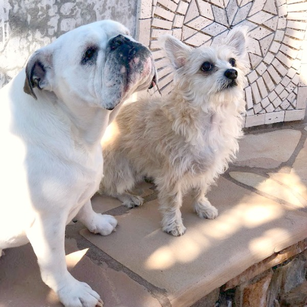 English bulldog and mixed chihuahua on a travertine bench.