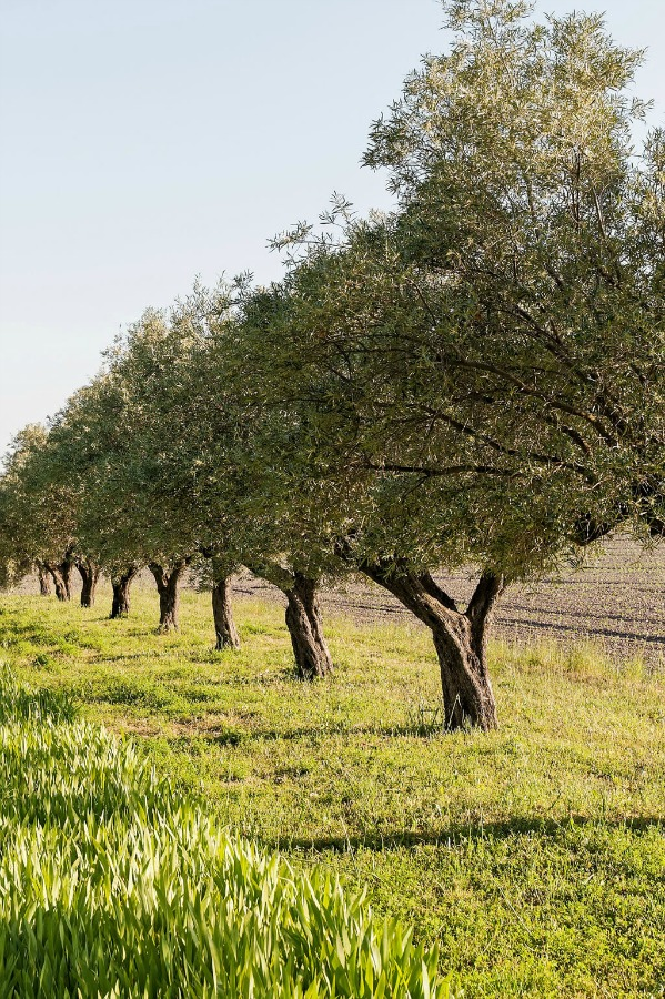 Olive trees! Provence dreams are made of these! Come tour French Farmhouse Design: Provence Villa Photos in a story with rustic decor, Country French charm, and South of France beauty! #frenchfarmhouse #interiordesign #housetour #frenchcountry #provence