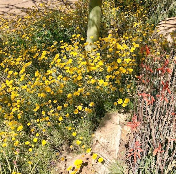 Yellow flowers and desert landscape in Tucson - Hello Lovely Studio.