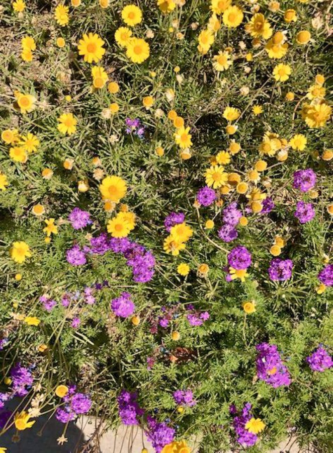 Desert landscape in Arizona with purple and yellow flowers - Hello Lovely Studio.