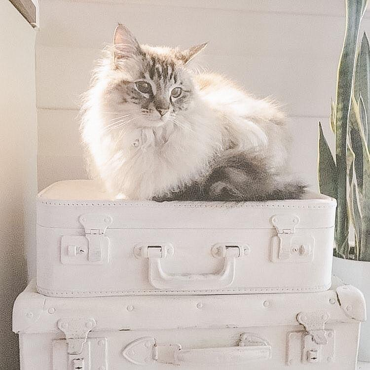 White kitty on a stack of white painted vintage suitcases - The Renovated Cottage. #frenchnordic #frenchountry #whitedecor #shabbychic #frenchfarmhouse