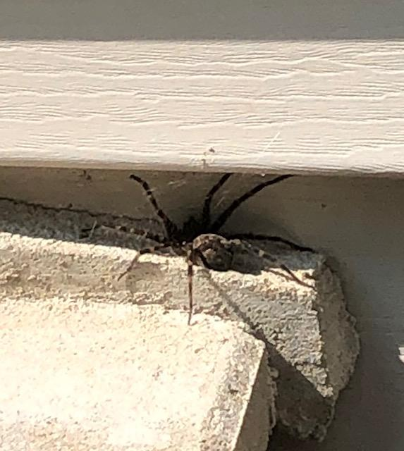 Huge wolf spider in my courtyard - Hello Lovely Studio. 7 Little Life Hacks for Coping With Chronic Illness...in case you need a bit of encouragement.