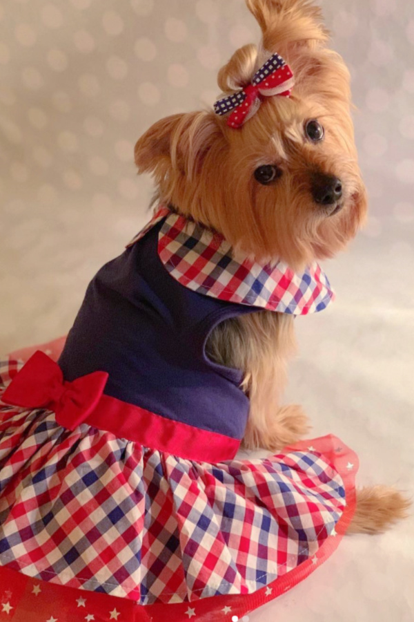 Sweet patriotic 4th of July Yorkie dressed for the holiday - @kashmeare_