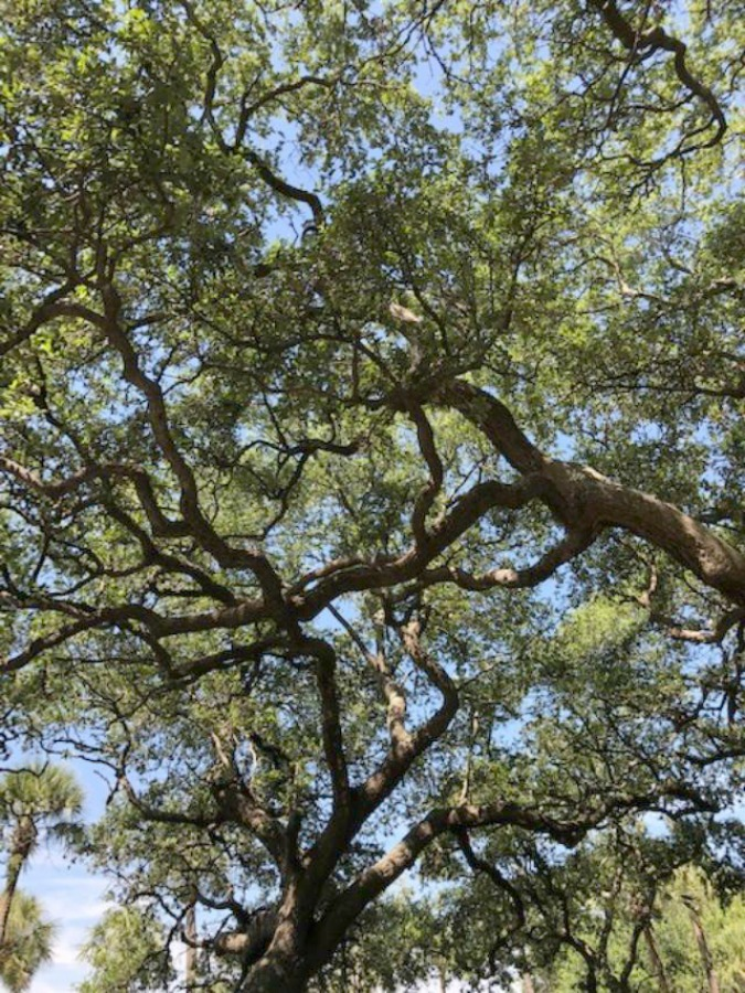 Live oak trees. Near the Battery and White Point Gardens area of Charleston, we strolled the streets of magnificent historic homes with breathtaking architecture and gardens. Come enjoy this photo gallery with Historic Charleston Mansion Exteriors on Hello Lovely Studio.