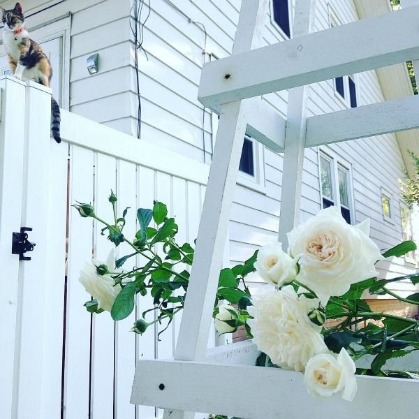 White roses, white house exterior, and a sweet kitty add up to lovely Nordic French bliss from My Petite Maison.