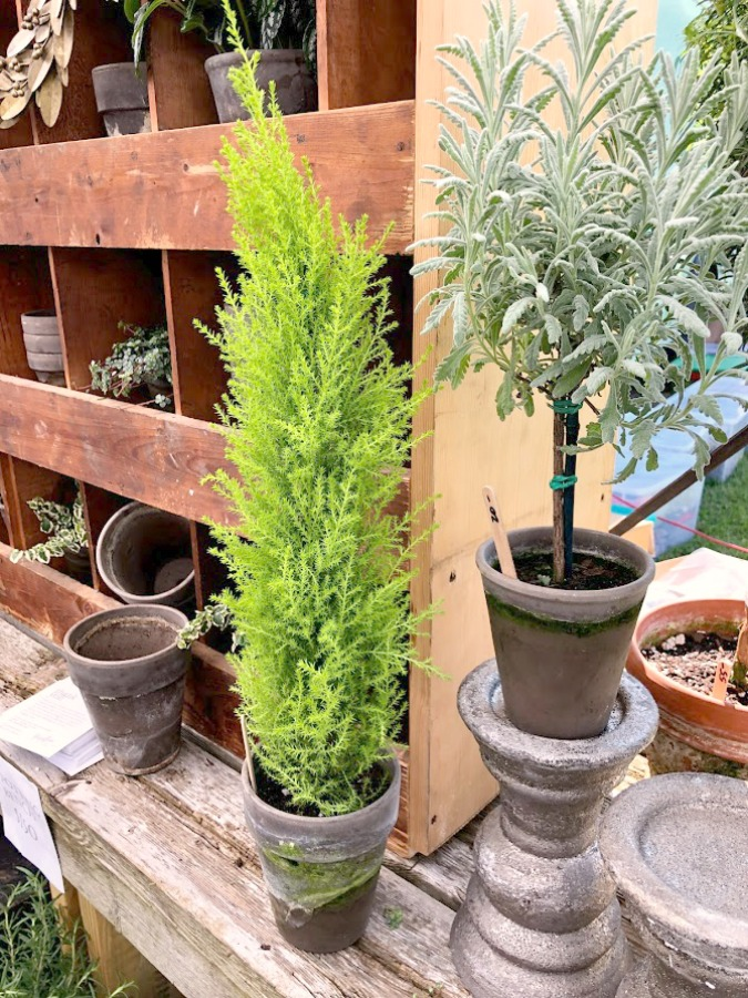 Topiaries and cypress. Come discover rustic fall decorating ideas in this photo gallery with ideas and resources! Vintage style, farmhouse decor, and junkin paradise in the fall - Main Street Market (Urban Farmgirl) in Belvidere, IL - Hello Lovely Studio. #fleamarket #vintage #farmhouse #countrydecor #midwest