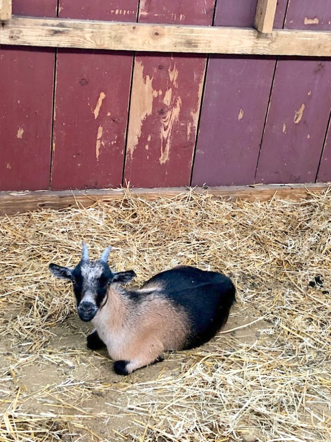 Friendly goat at Edwards Apple Orchard in Poplar Grove, IL - Hello Lovely Studio.