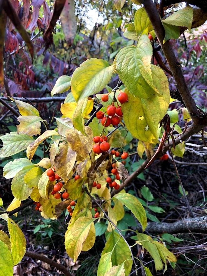 Autumn berries in Northern Illinois - Hello Lovely Studio.