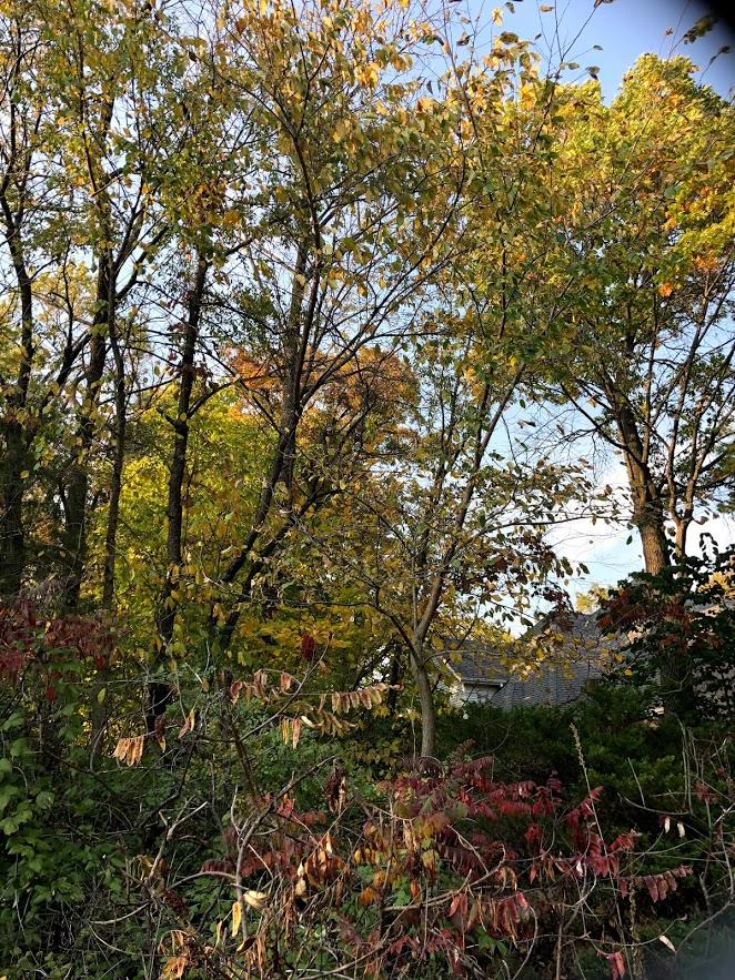 Golden leaves in autumn in Northern Illinois - Hello Lovely Studio.