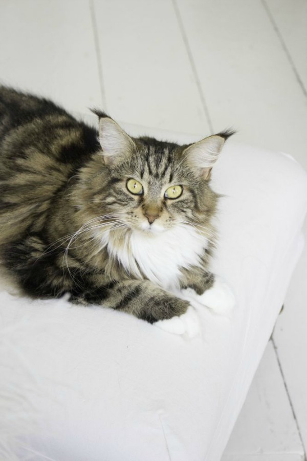 Maine Coon cat in a Scandinavian style white cottage (Beach Studios). #mainecoon #cats