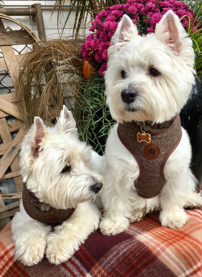 Beautiful West Highland Terriers Westies in sweaters at Trove Vintage! #westies #shopdogs #dogsweater