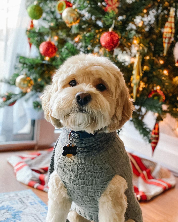 Sweet cockapoo in sweater with Christmas Tree - Ollie the Cockapoo.