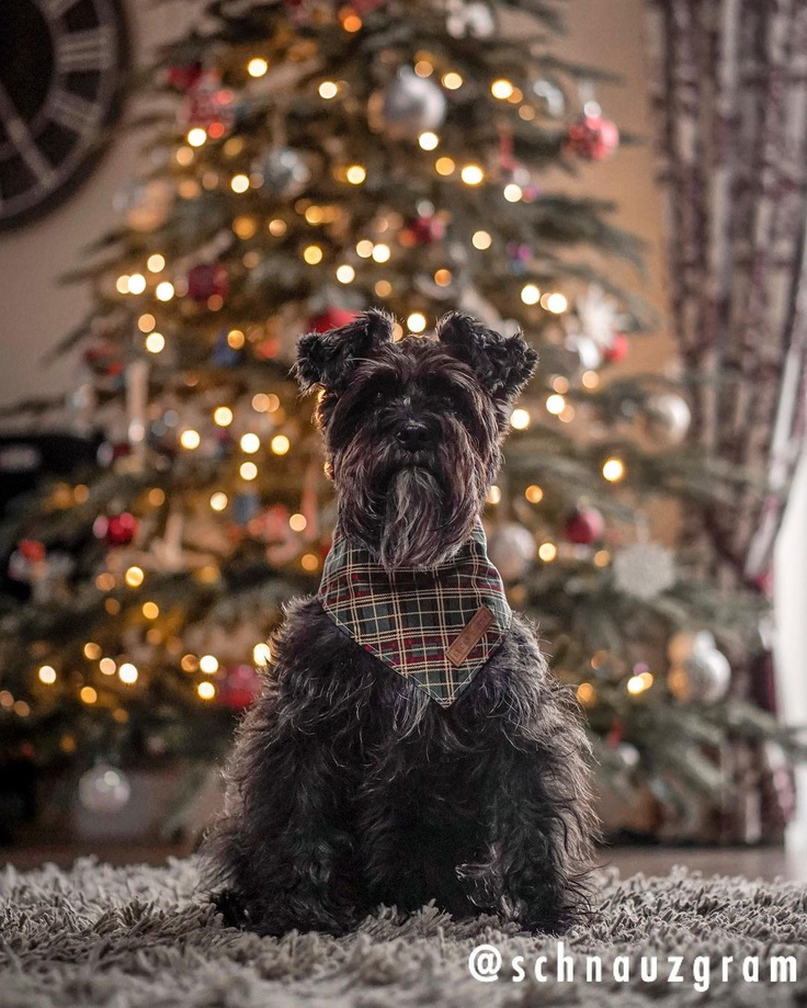 Schnauzer with tartan bandana near Christmas tree - Schnauzgram.