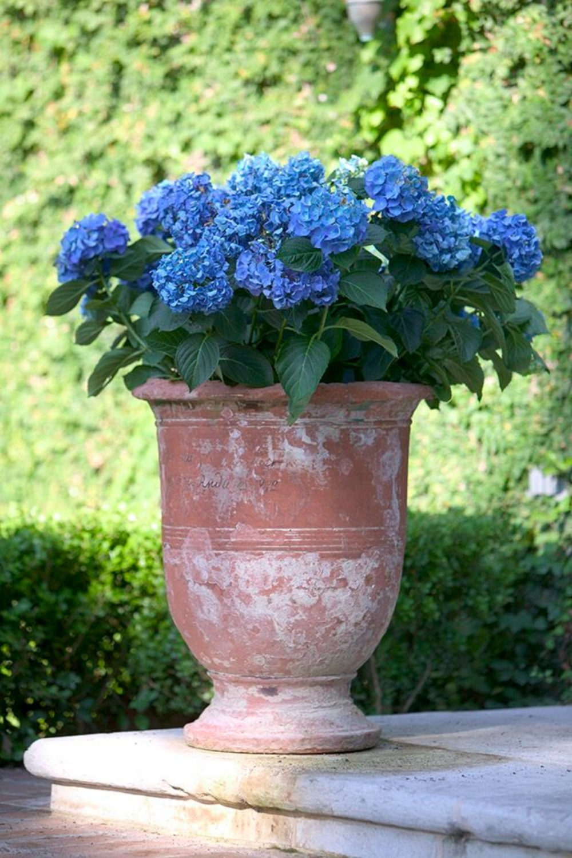 Blue hydrangeas in terracotta urn in French garden of Ruth Gay (Chateau Domingue).