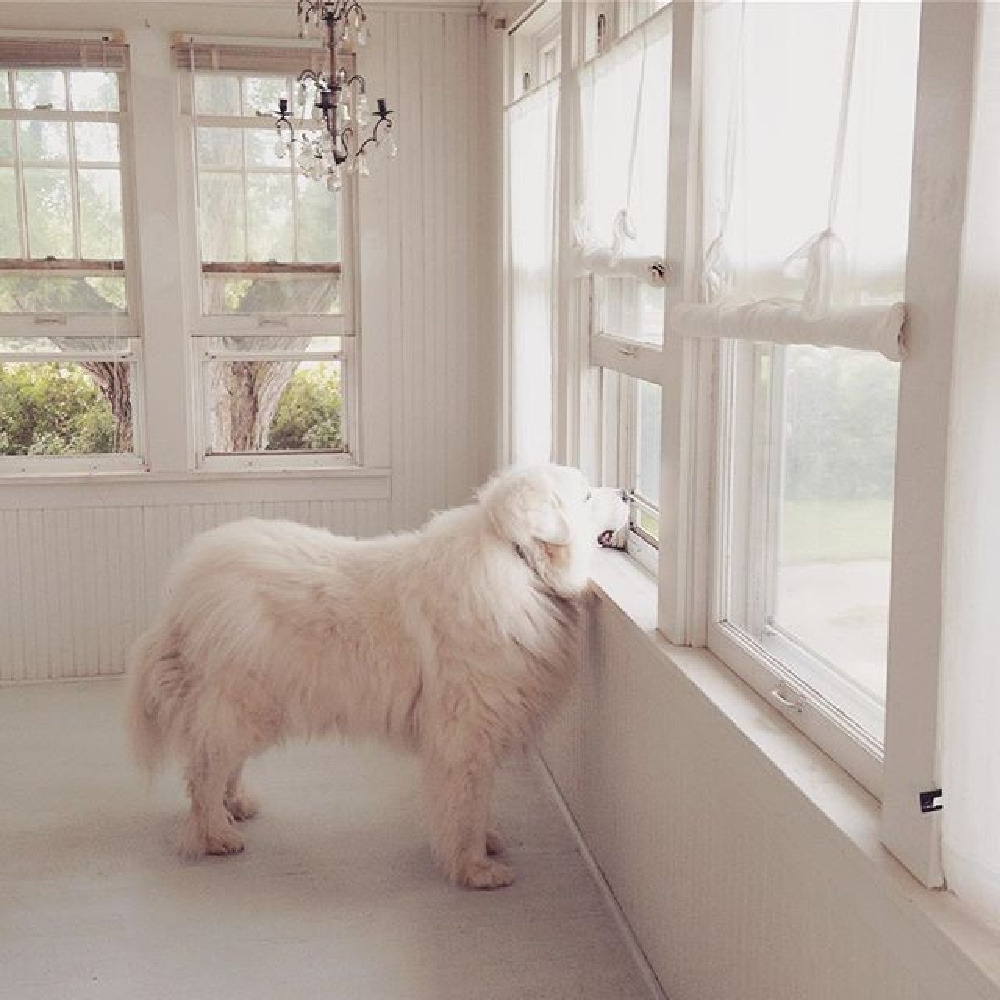 Great White Pyrenees in an all white Scandi cottage with French Nordic treasures - My Petite Maison.