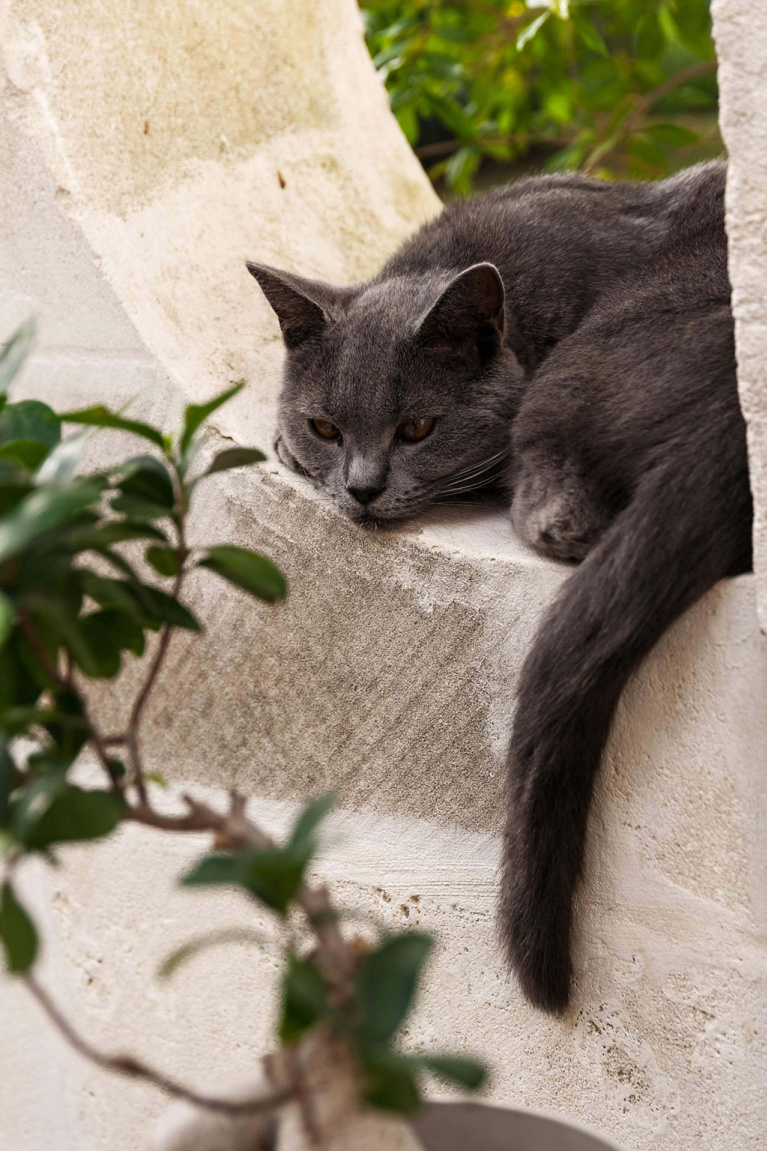 French gray cat lounging in a stone garden window at Avignon Hôtel Particulier, a beautifully restored 19th century mansion in the heart of Avignon's historic center - Haven In. #frenchgray #cats #frenchcat #frenchcountry #catsinfrance