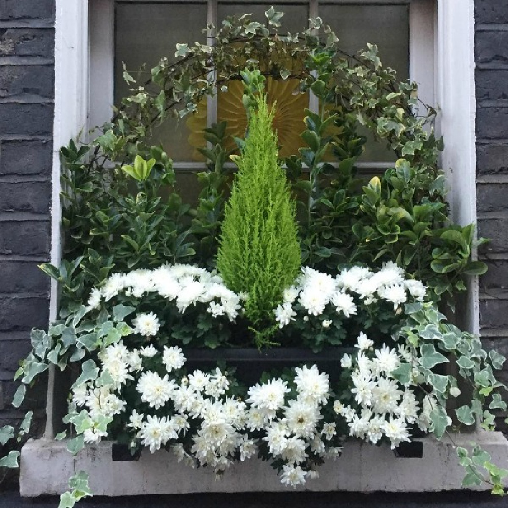 Beautiful window box with white mums, cypress, and ivy on a London home - Hello Lovely Studio. #windowboxes #holidayflorals #holidaywindow