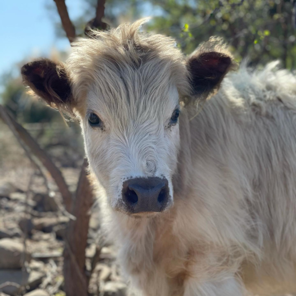 Beautiful Highland White Park heifer cow, Adelaide, at Patina Farm in Ojai, California - Giannetti Home (photo by Velvet and Linen). #highlandcows #patinafarm #giannettihome