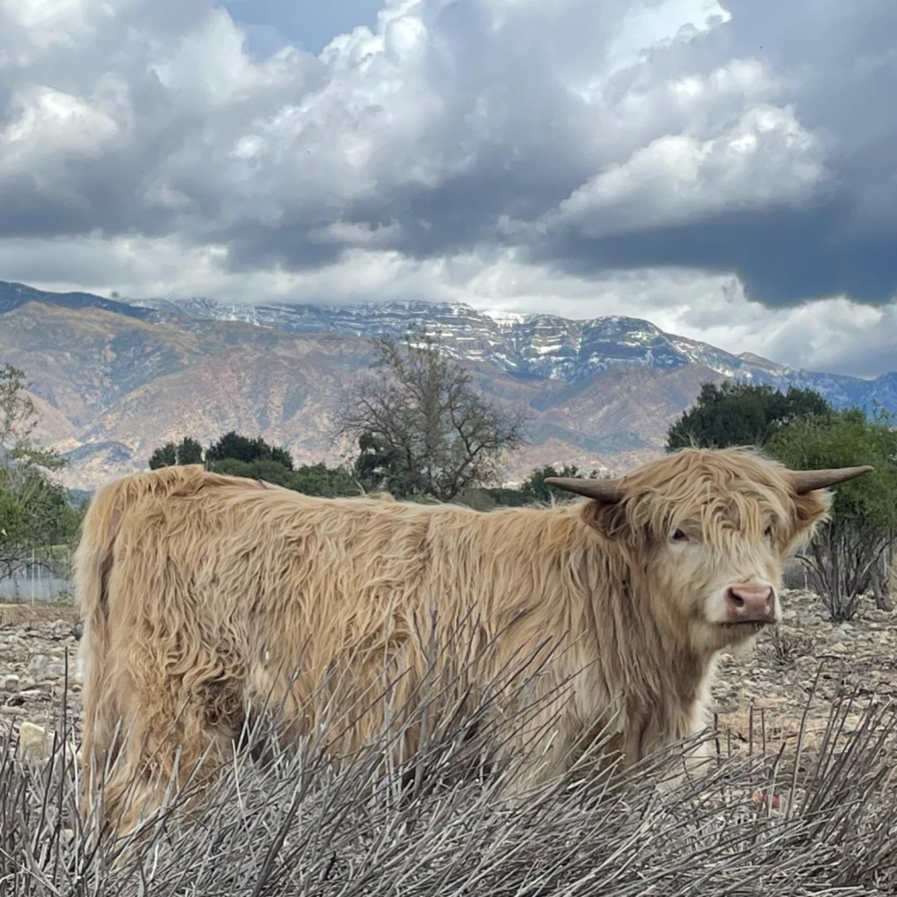 Beatrice, a Highland heifer at Patina Farm - photo by Velvet and Linen's Leila Giannetti. #highland #cows #patinafarm