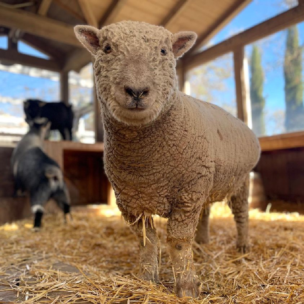 Babydoll sheep (Cash or Cashmere) at Patina Farm in Ojai, California - Giannetti Home (photo by Leila Giannetti). #babydollsheep #patinafarm #farmanimals