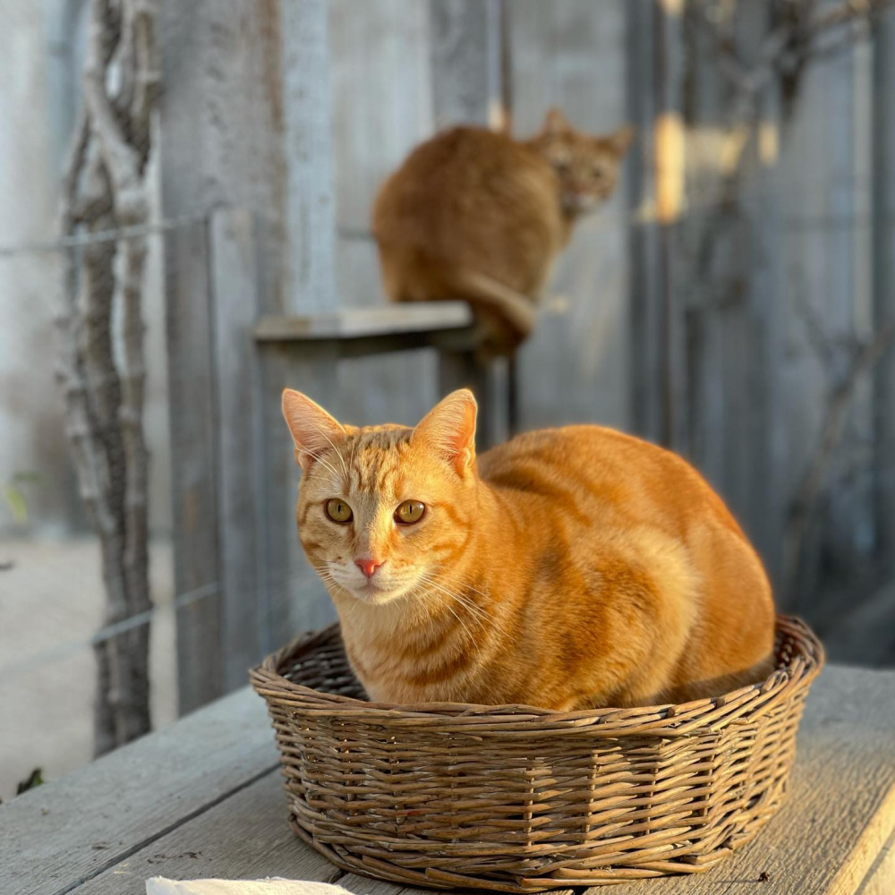 Marmalade barn cats Sherlock and Watson at Patina Farm in Ojai, California - Giannetti Home (photo by Velvet and Linen). #orangecats #marmaladecat #patinafarm #giannettihome