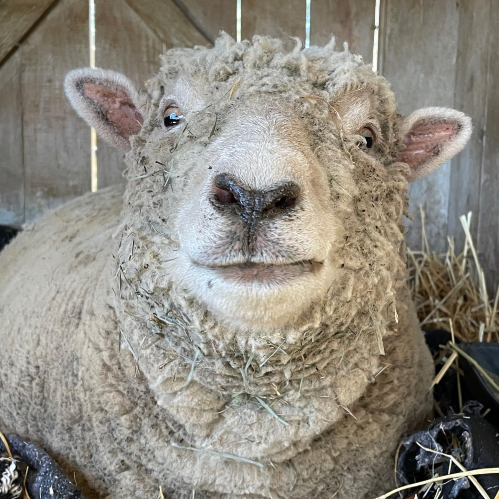 Precious baby doll sheep named Paisley at Patina Farm in Ojai, California - photo by Velvet and Linen. #babydollsheep #patinafarm #sheep