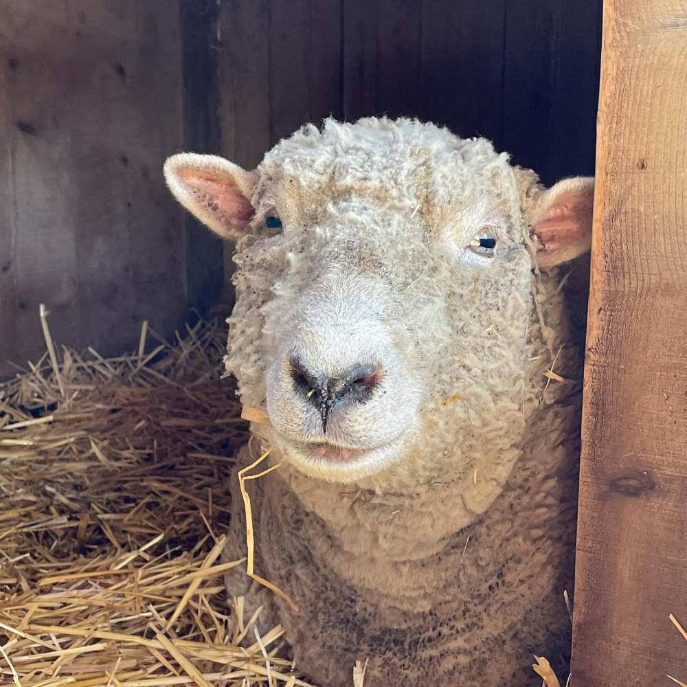 Precious babydoll sheep named Paisley at Patina Farm in Ojai, California - photo by Velvet and Linen. #babydollsheep #patinafarm #sheep