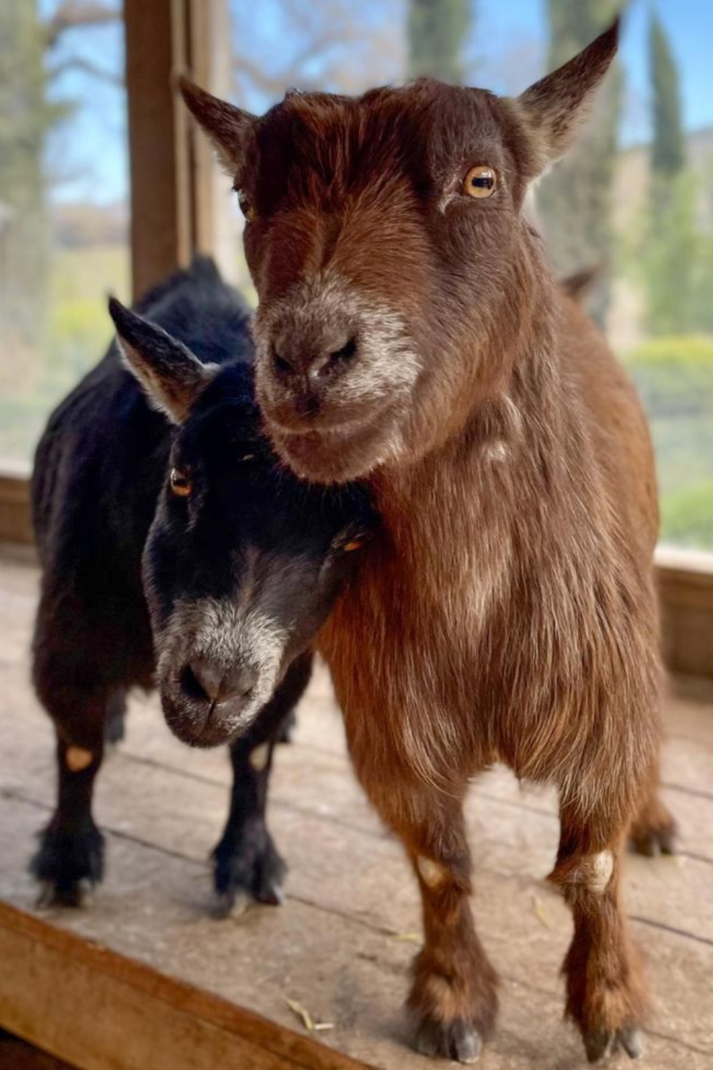 Precious Pygmy goats Thelma and Dot at Patina Farm in Ojai, California - Giannetti Home (photo by Leila Giannetti). #pygmygoats #patinafarm #goats #goatfriends