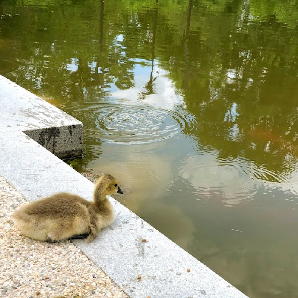 Baby duckling near a pond in a beautiful garden - Hello Lovely Studio.